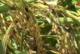 BIGNONA: Les cultures de riz de l'entente de Diouloulou se portent bien