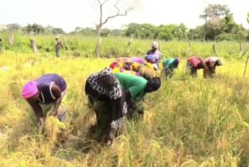 BIGNONA: LE PPDC et l'entente de Diouloulou ramène la culture du riz à BITI BITI